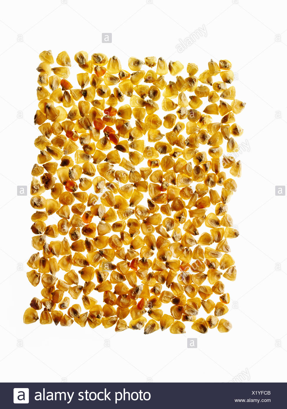 Groupe de grains de maïs maïs organisé dans le profil Photo Stock