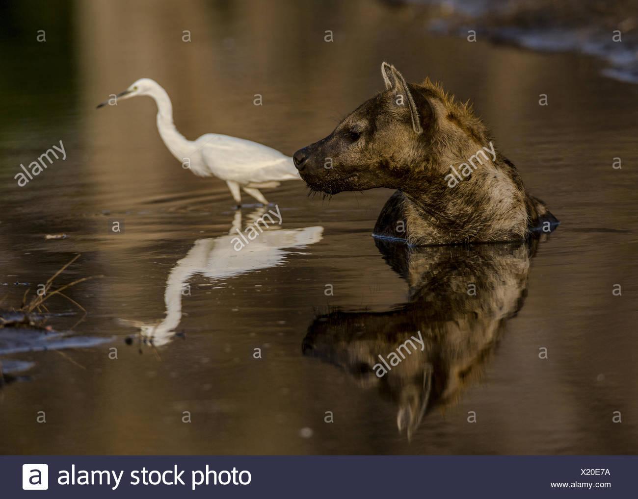 Une hyène tachetée, Crocuta crocuta, réside dans une petite piscine d'eau de refroidir dans le soleil de midi,. Photo Stock