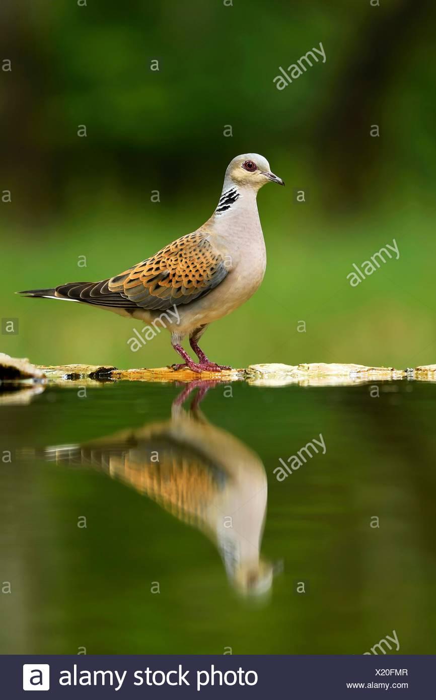 Turtle dove (streptopelia turtur) à la mise en miroir, lunettes, parc national de Kiskunsag, Hongrie Photo Stock