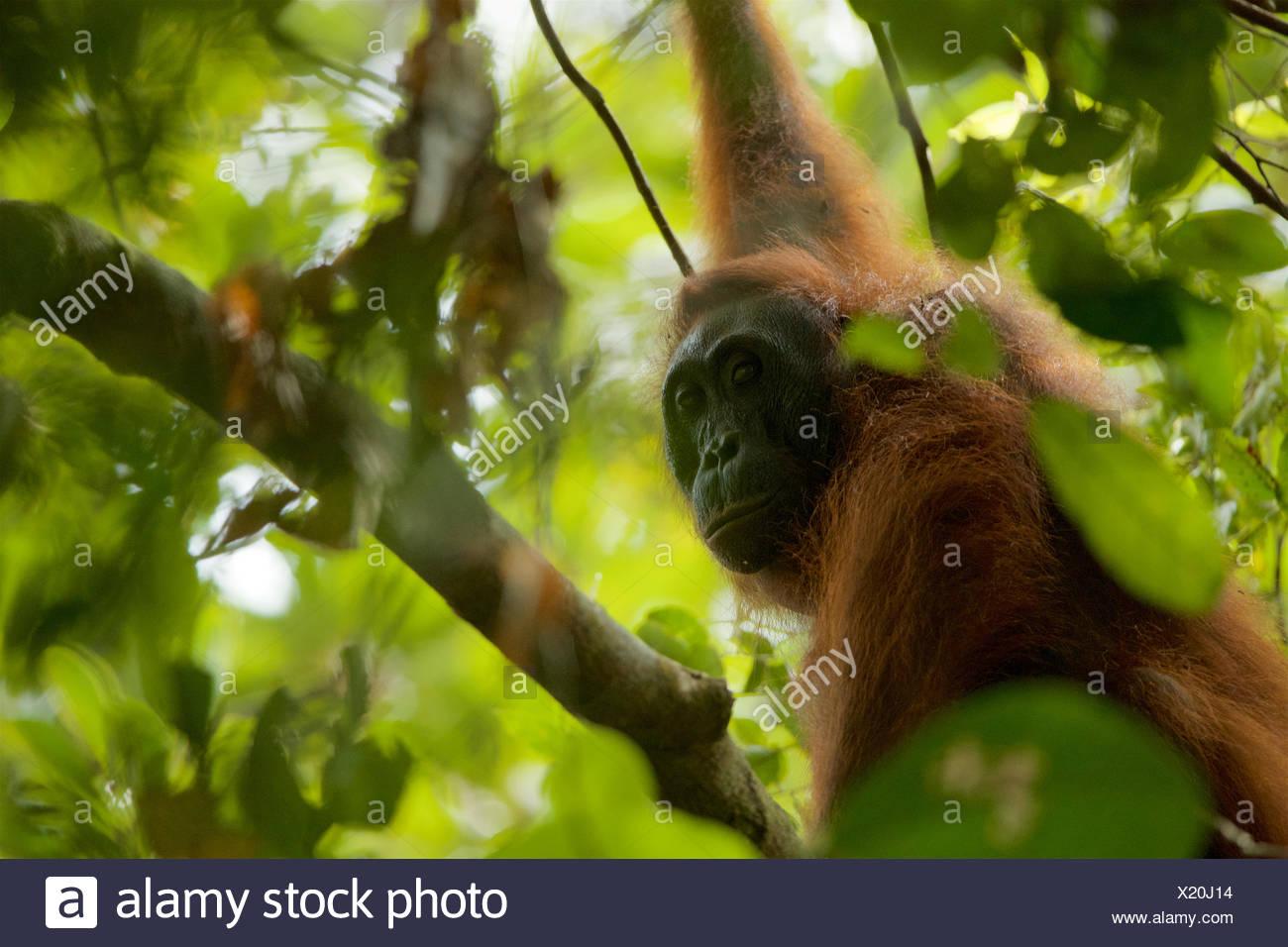 Une femelle orang-outan, Pongo pygmaeus, wurmbii repose dans un arbre à Gunung Palung National Park. Banque D'Images