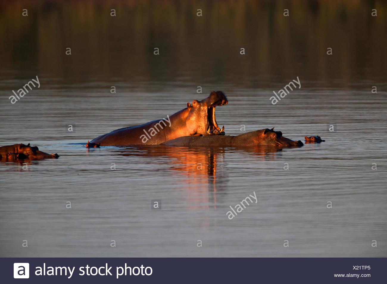 Les hippopotames de Lake Masek Banque D'Images