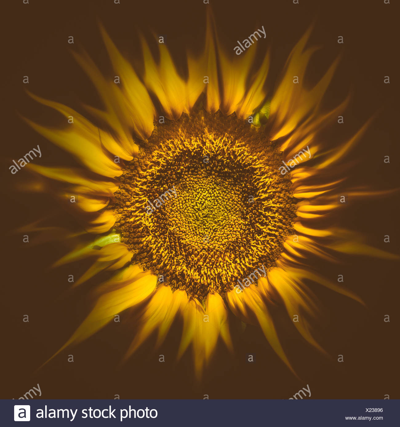 Flare soleil tournesol Photo Stock