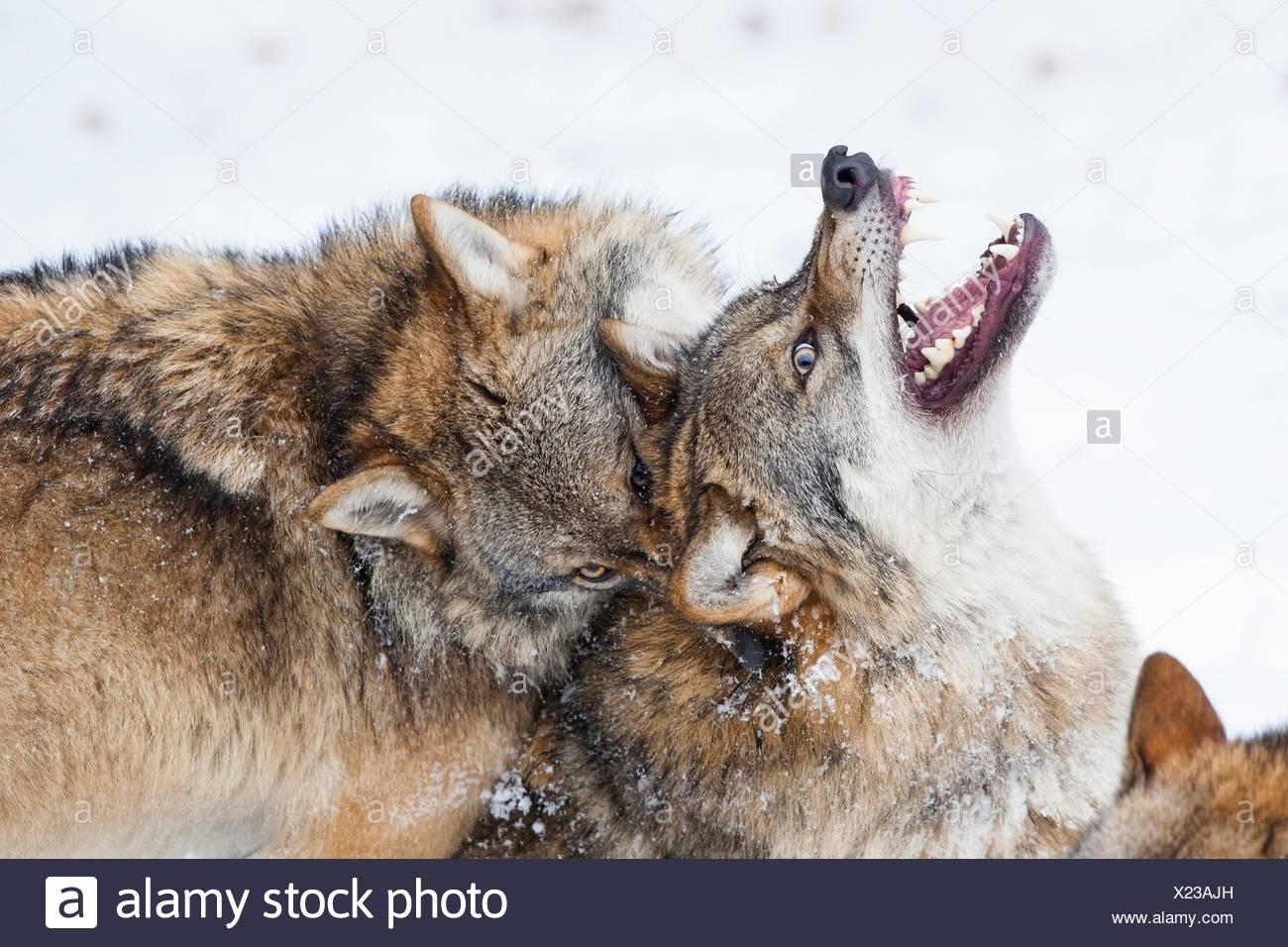 Deux loups (Canis lupus) combats, Parc National de la forêt bavaroise, en Allemagne. Photo Stock