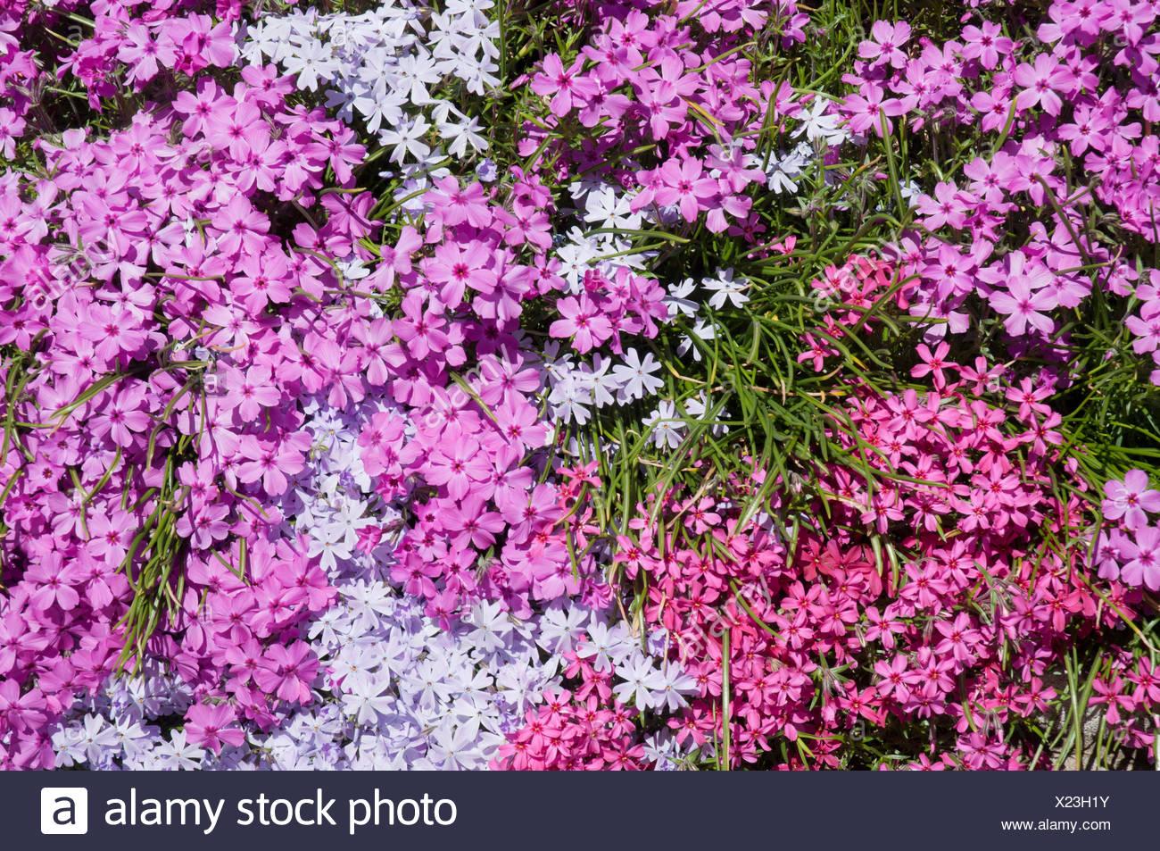 Couleur des fleurs phlox divers sur un jardin en bordure de ...