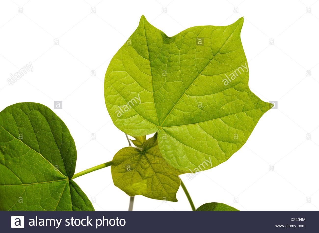 Les feuilles dentelées d'un plant de coton (Gossypium herbaceum) Photo Stock