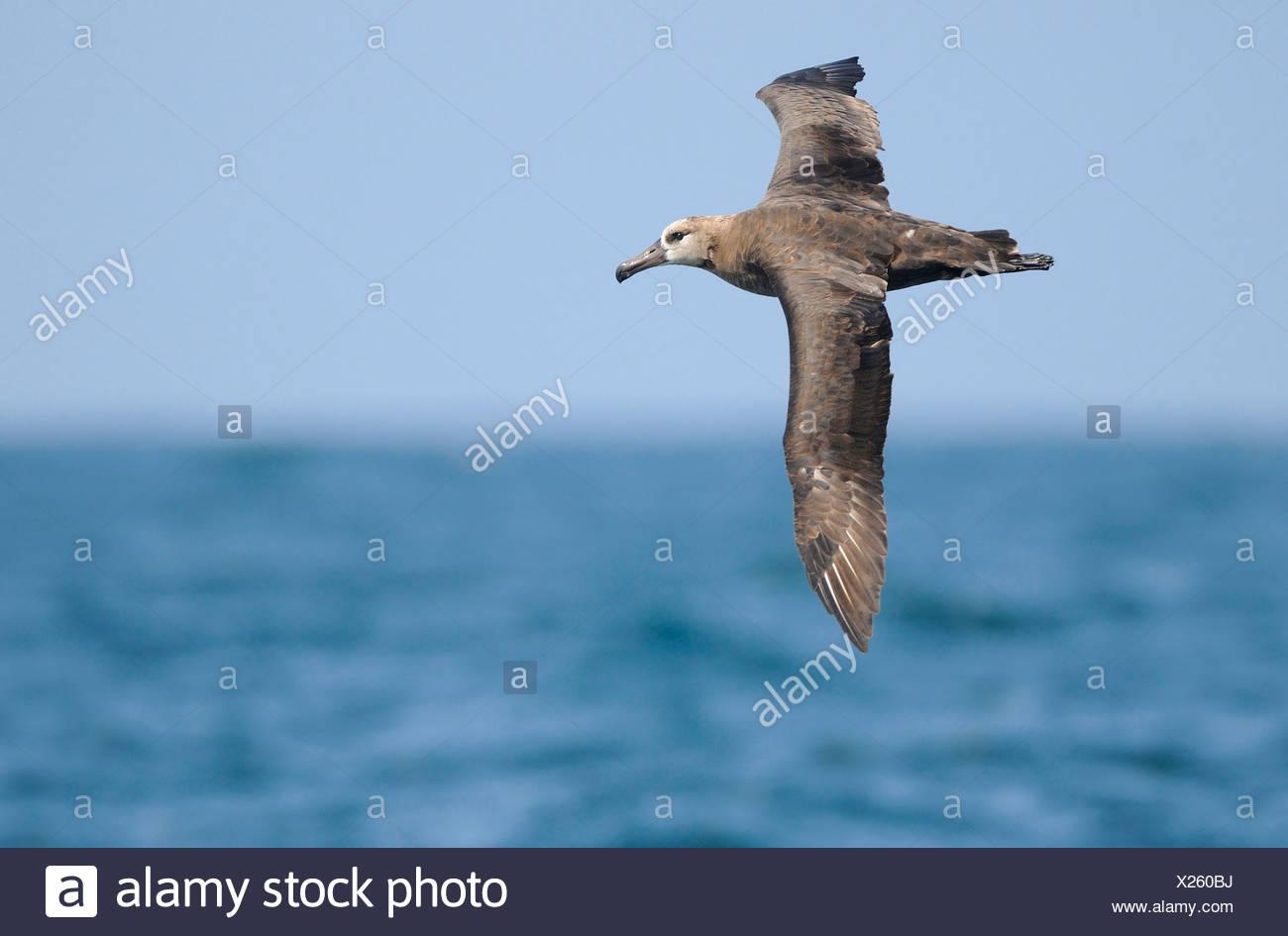 L'Albatros à pieds noirs sur sortie pélagique au large de Westport WA Photo Stock