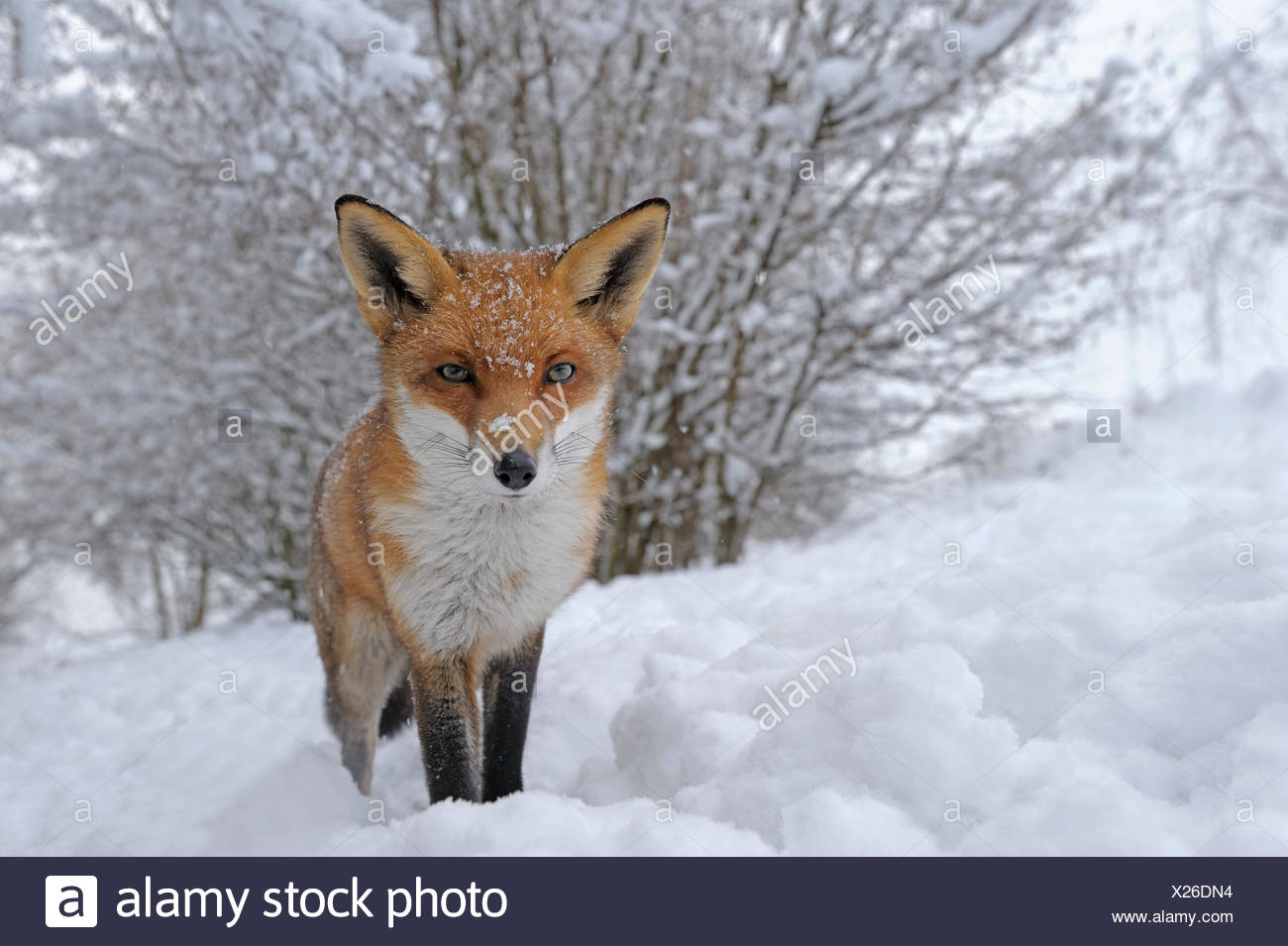 European Red Fox (Vulpes vulpes) dans la neige, UK, captive Photo Stock