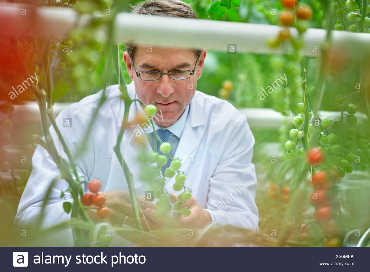 L'examen scientifique de l'alimentation de la vigne sur le mûrissement des tomates Photo Stock