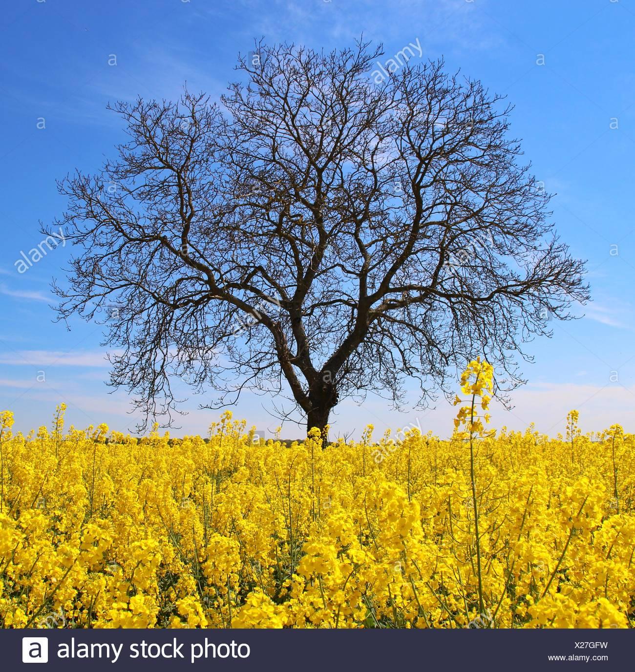 Seul arbre nu dans le champ de canola Photo Stock