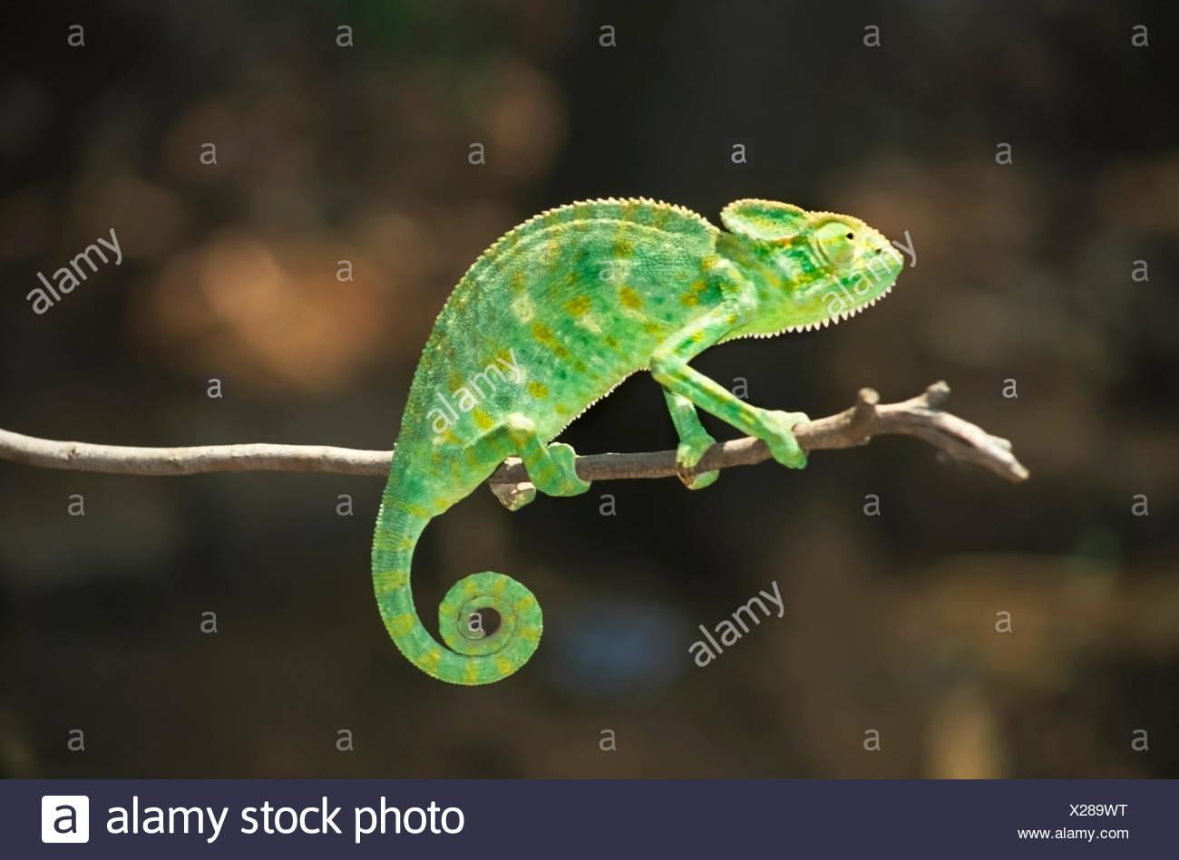L'Asie du Sud, chameleon chamaeleo zeylanicus, la seule espèce trouvés en Inde Photo Stock