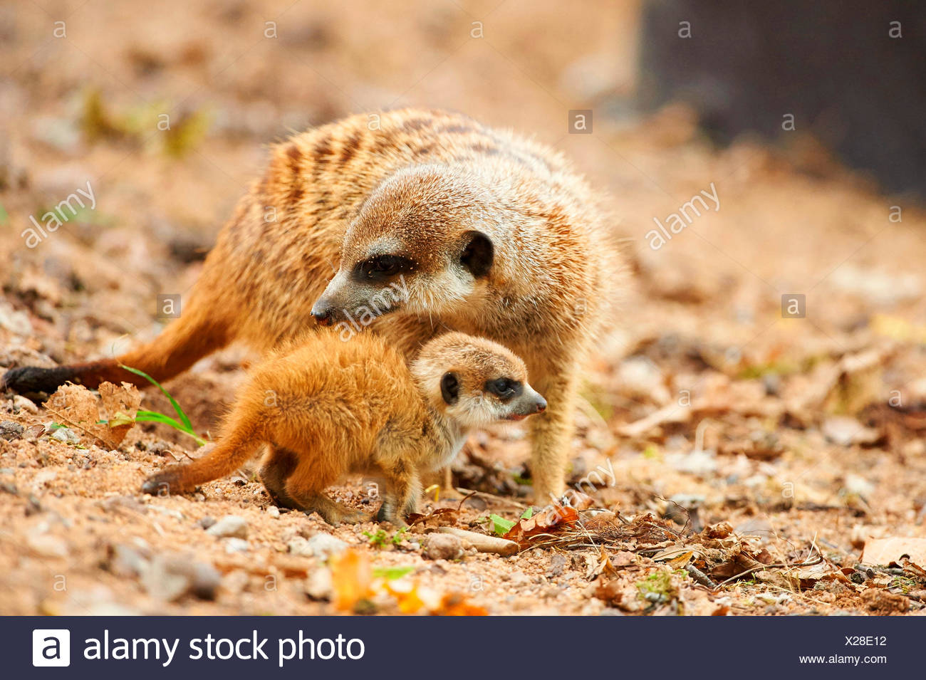 À queue fine, suricate (Suricata suricatta) suricates, mère avec son jeune Photo Stock