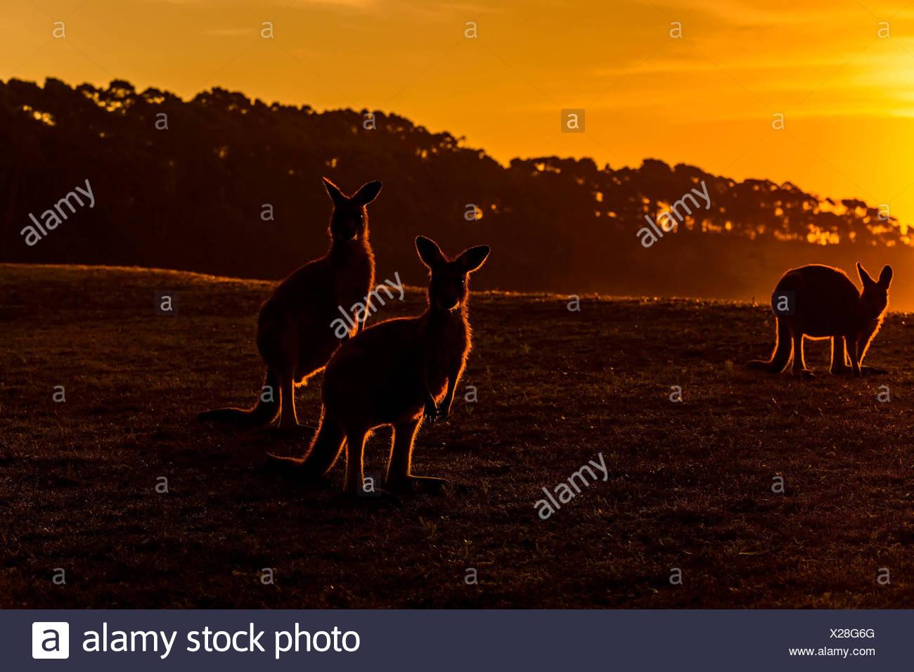 Kangourou gris, Macropus giganteus, Groupe d'animaux au lever du soleil, Murramarang National Park, New South Wales, Australie Photo Stock