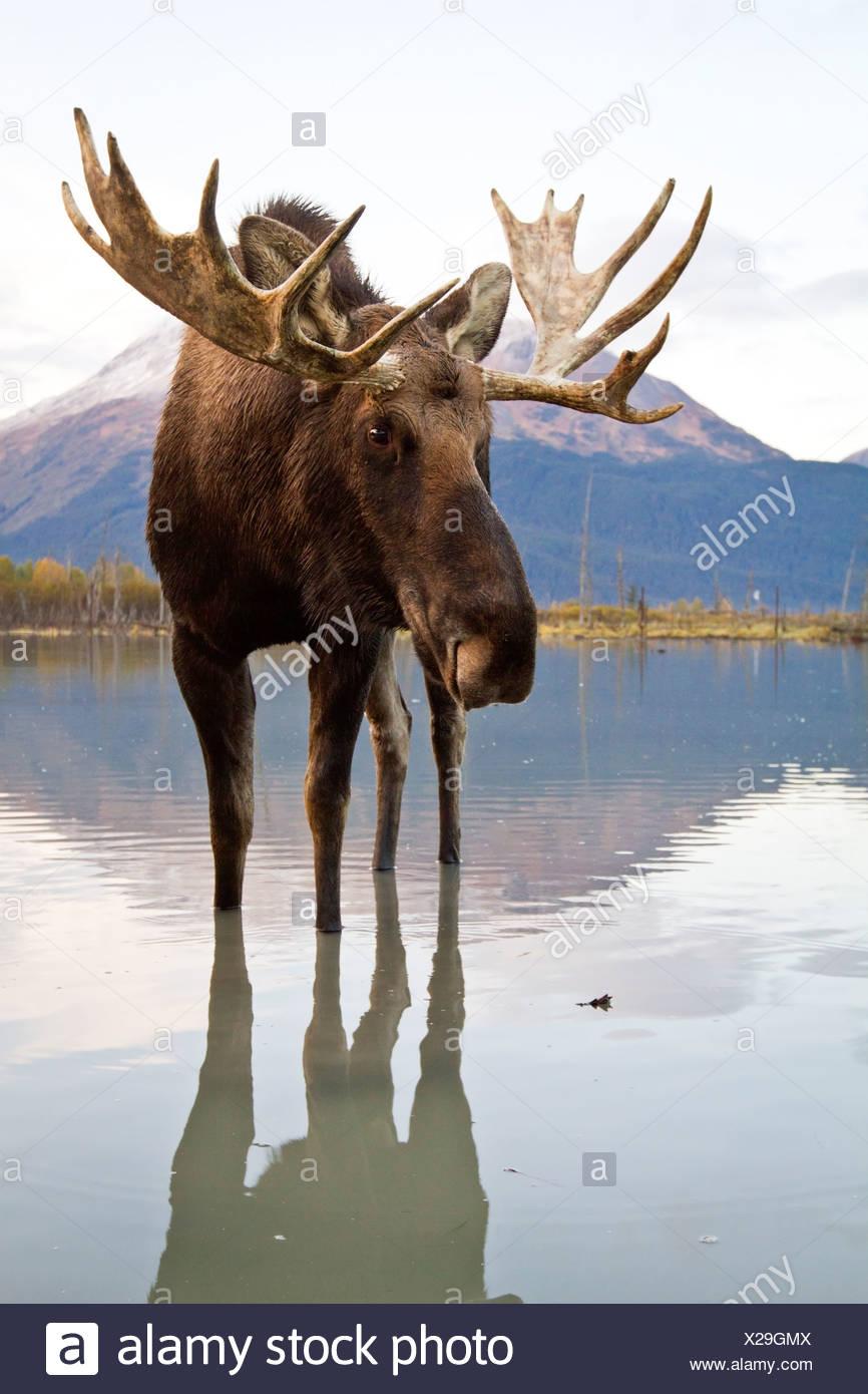 Captif: Bull Moose promenades à travers l'eau à marée haute, Alaska Wildlife Conservation Center, Southcentral Alaska, automne Banque D'Images