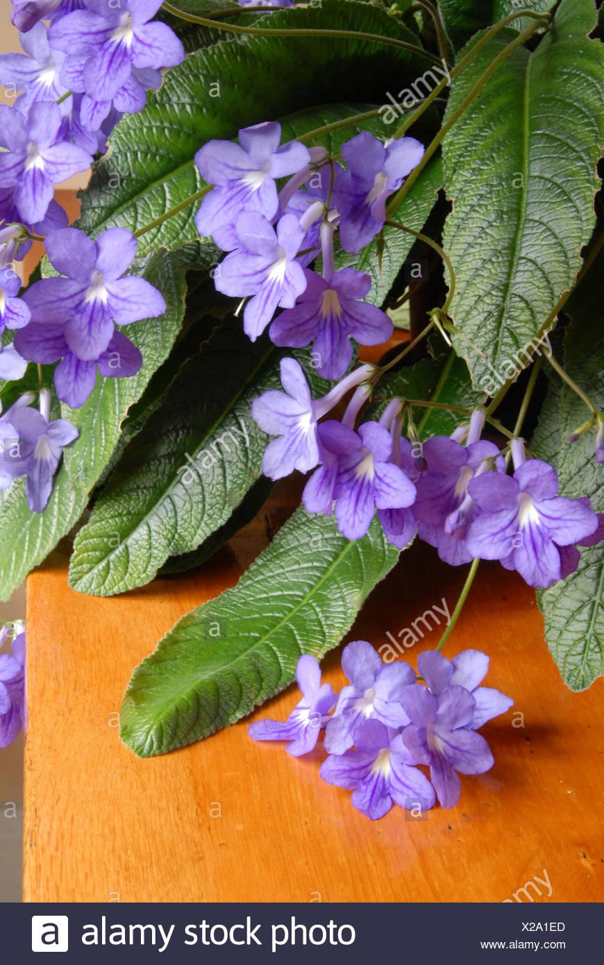 L Interieur A L Interieur Du Cap Streptocarpus Plantes Fleurs Fleur