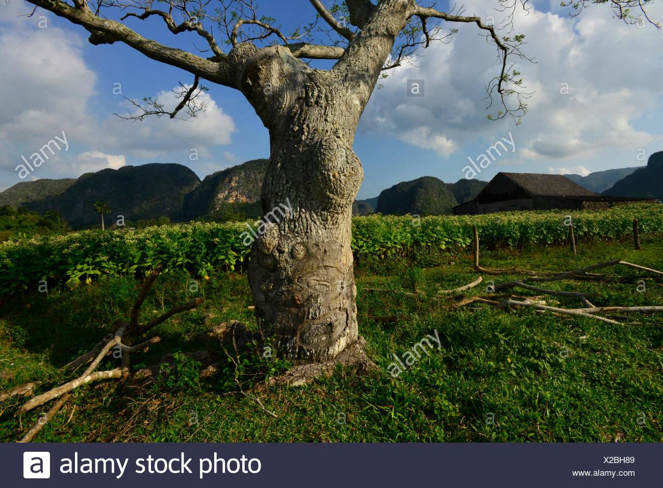 un arbre et un champ de plants de tabac sur une plantation de tabac