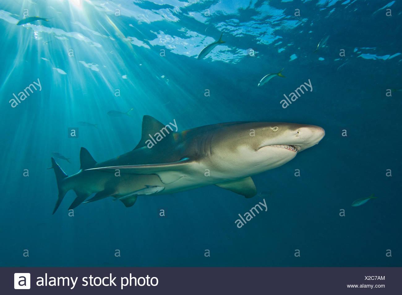 Le requin citron (Negaprion brevirostris) sous les rayons du soleil. Petit banc des Bahamas, Bahamas. Ouest de l'océan Atlantique. Photo Stock