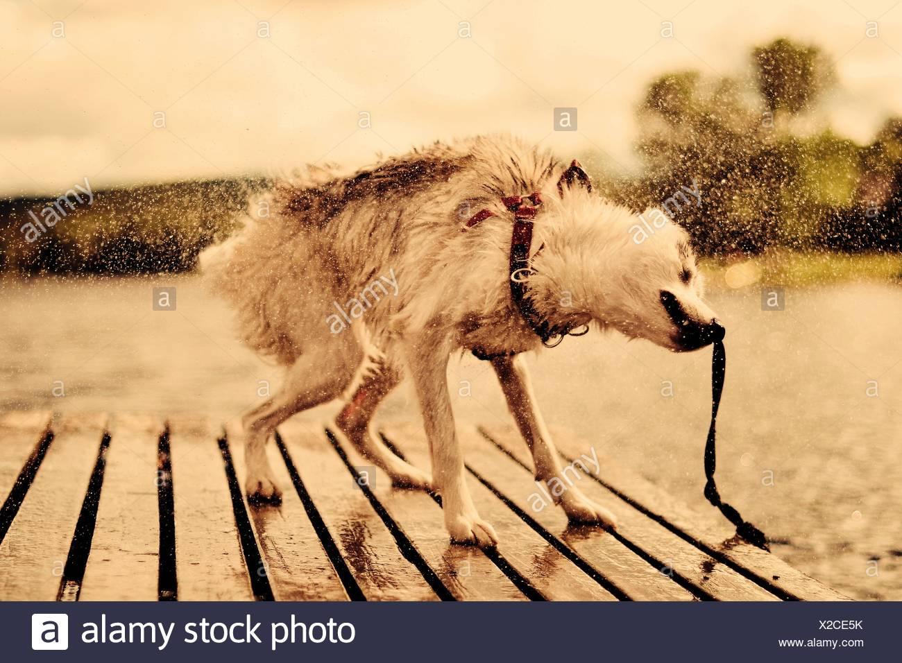 Se secouant chien sur la jetée contre le ciel Banque D'Images