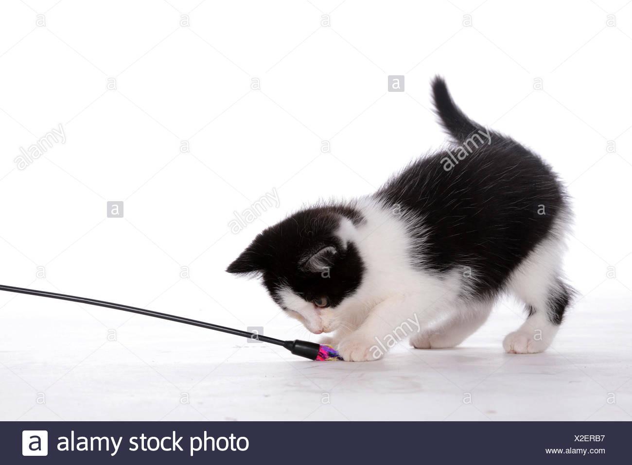 Chat domestique, le chat domestique (Felis silvestris catus) f., noir et tacheté whit chaton jouant avec une plume frond Photo Stock