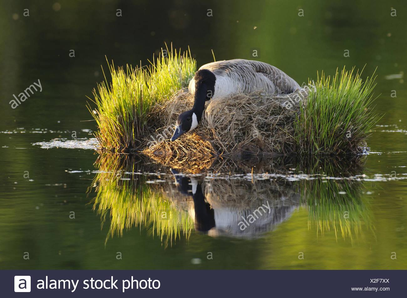 canada goose allemagne