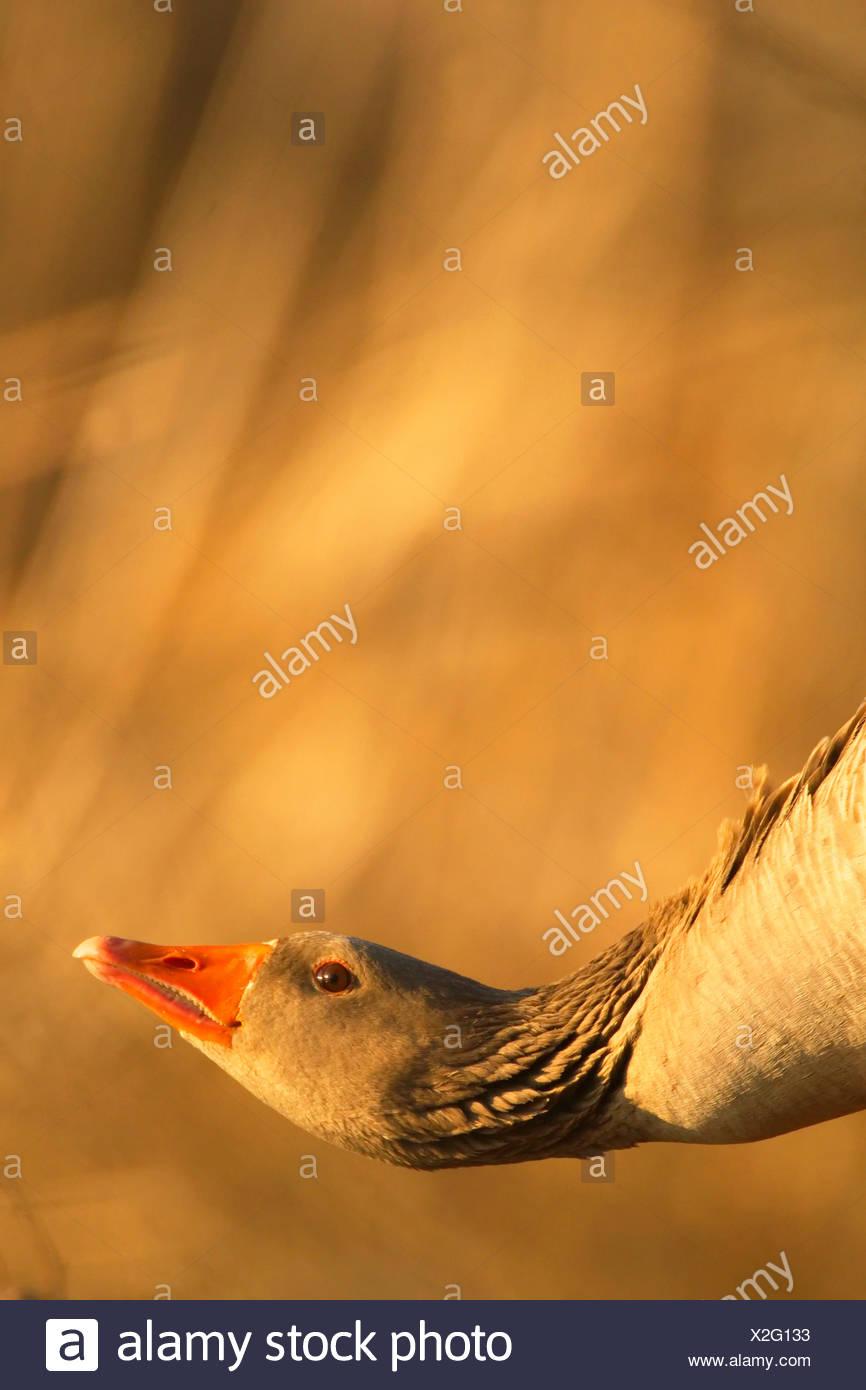 Oie cendrée (Anser anser), portrait, avec tête baissés, l'Allemagne, la Saxe Photo Stock