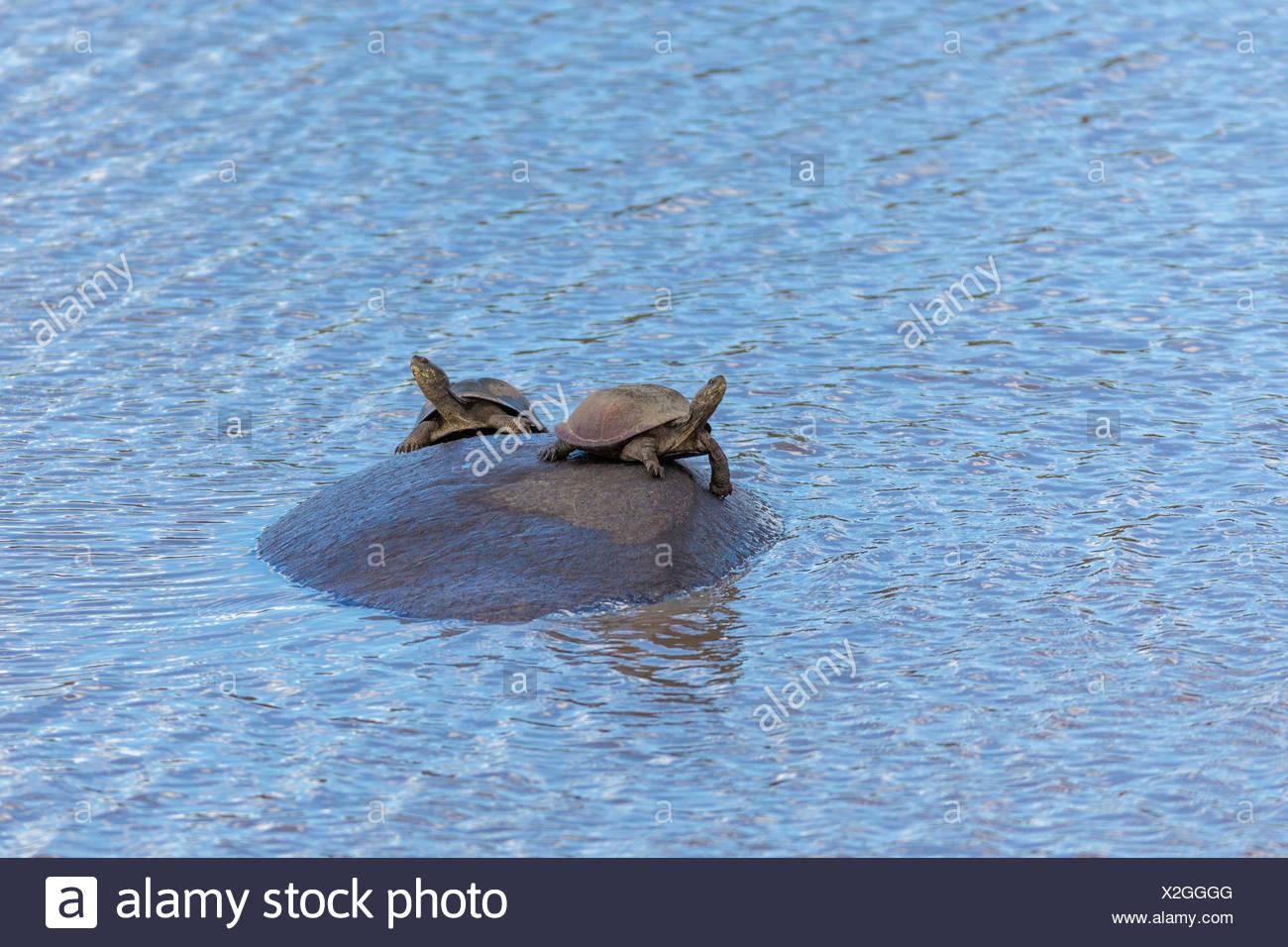 Deux tortues assis avec le cou tendu sur l'hippopotame, à charnières dentelée terrapin (Pelusios sinuatus) Photo Stock