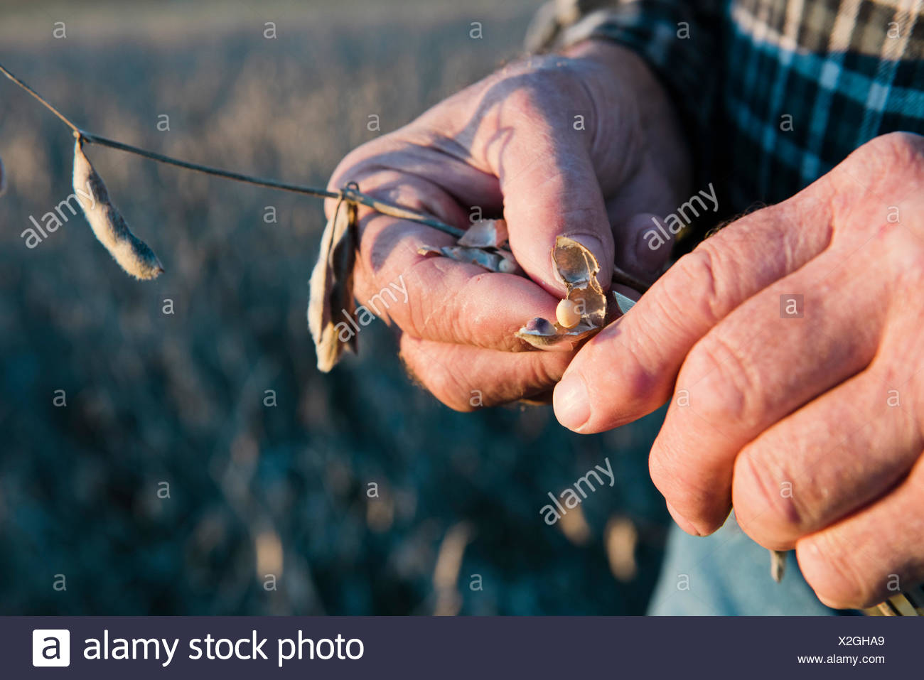 Producteur senior hands holding au pod de soja, Plattsburg, New York, USA Photo Stock
