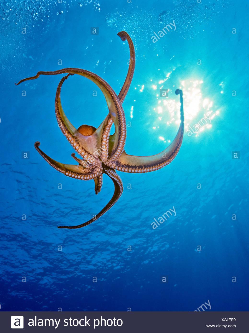 Jour poulpe, Octopus cyanea, Big Island, Hawaii, USA Photo Stock