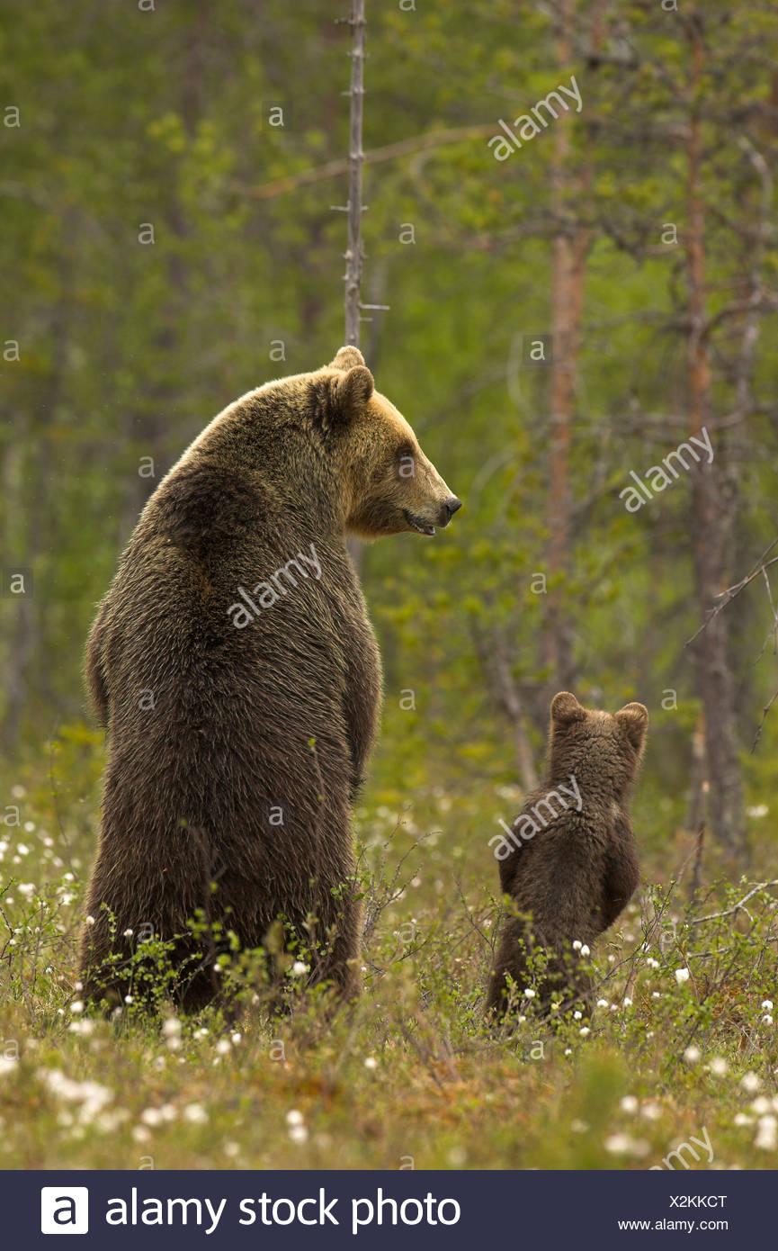 Ours brun européen (Ursos arctos) femmes et cub au bord d'une forêt boréale dans la lumière de fin de soirée. La Finlande. Photo Stock