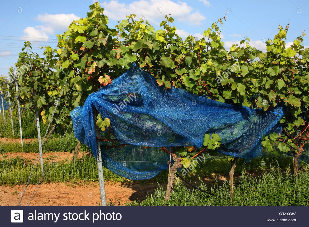 Extremement Vigne raisin, vigne (Vitis vinifera), vignes avec filet de LO-72