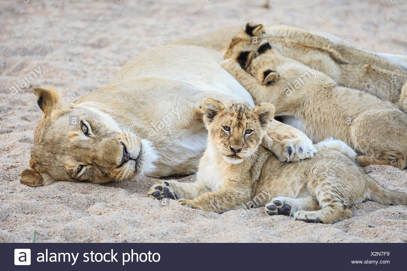 Lionne avec paw sur cub au repos, et trois plus de soins infirmiers, Panthera leo, dans une plage de la rivière. Photo Stock