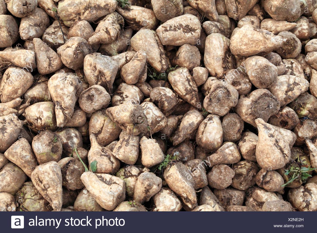 Le sucre de betterave, récoltés, Norfolk, Angleterre Royaume-uni récolte de betteraves à l'agriculture Photo Stock