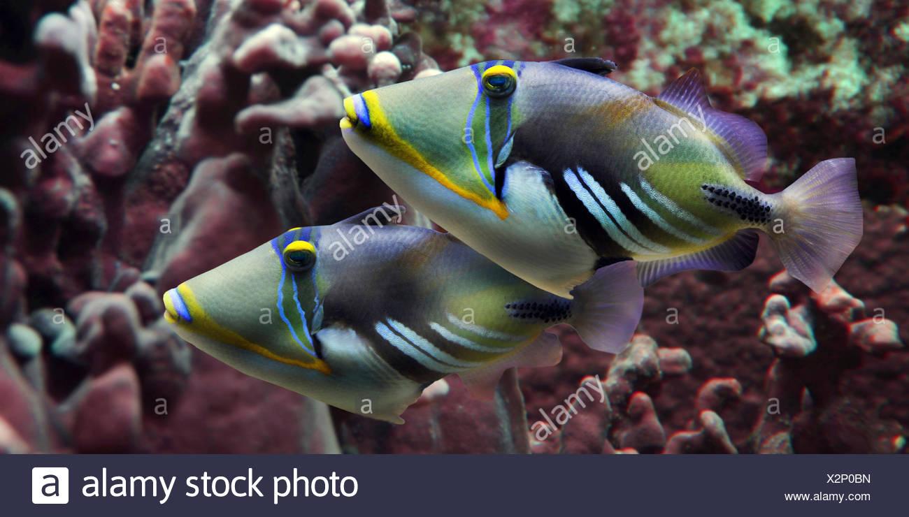 Poisson, Picasso, blackbar humuhumu (Rhinecanthus aculeatus aculeatus), deux poissons Picasso en face de coraux Photo Stock