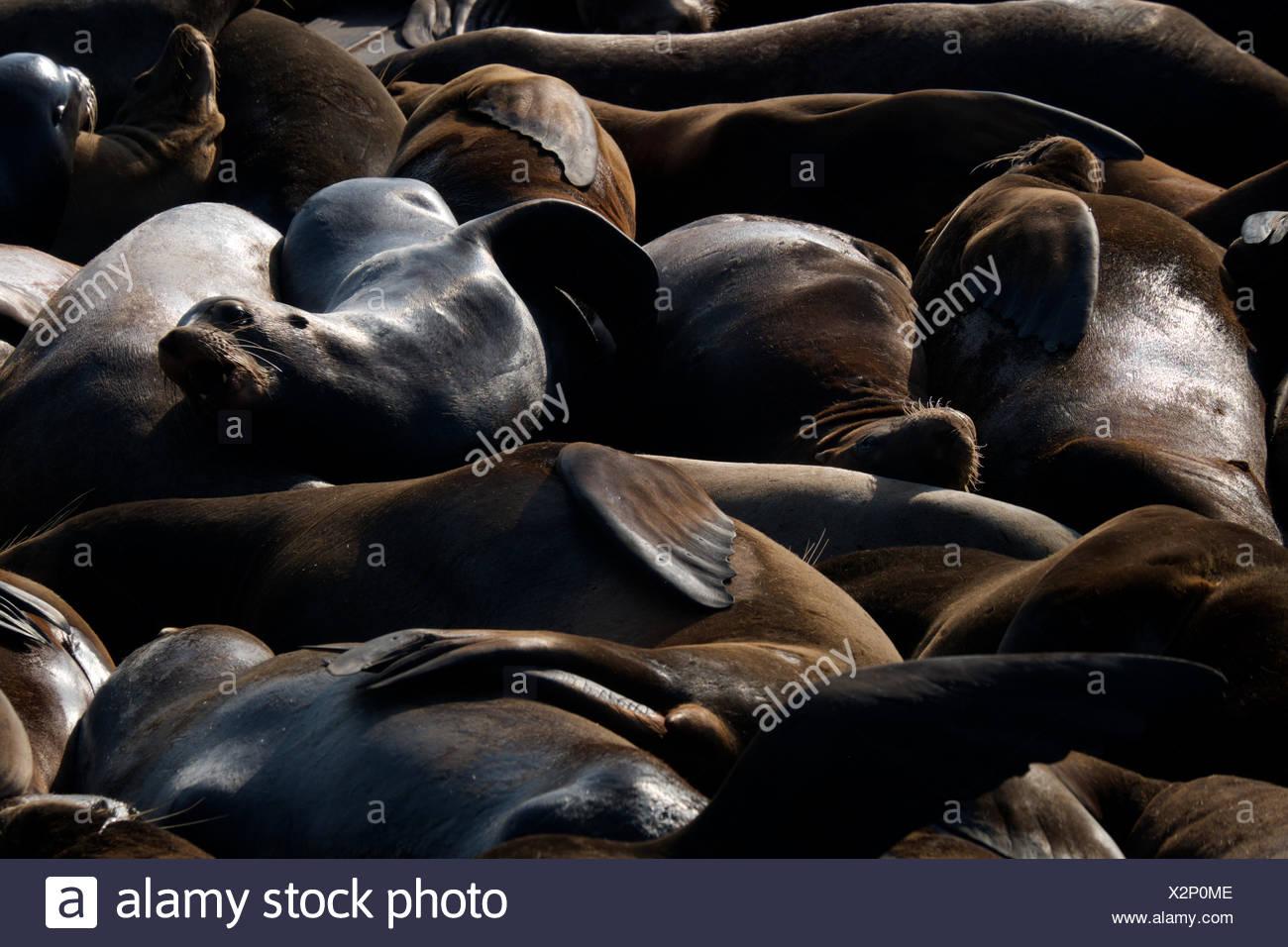 Les Lions de mer se serrent les uns près des autres au Pier 29 à Fisherman's Wharf à San Francisco, Californie. Photo Stock