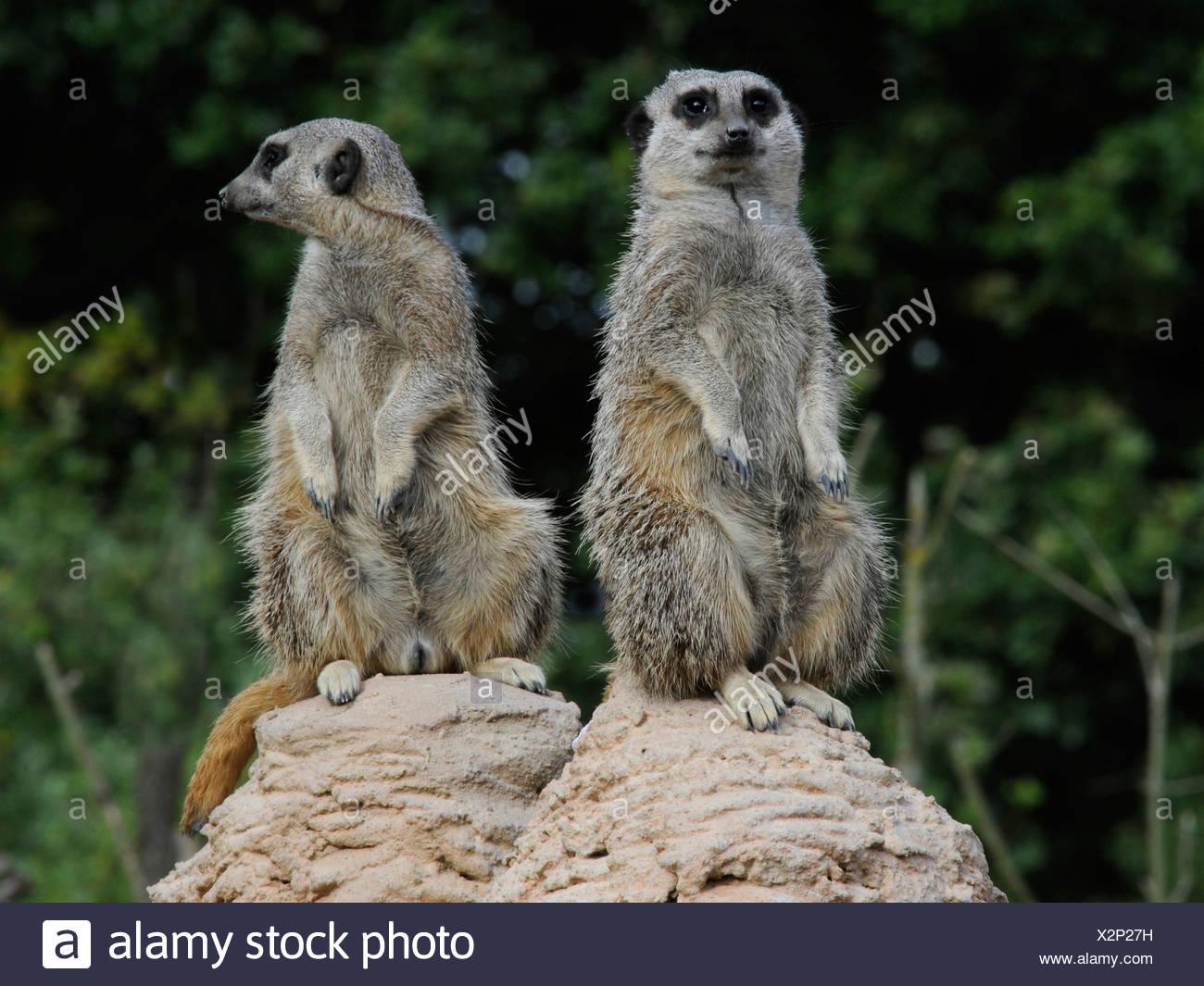 Deux suricates l'un à la recherche d'une façon l'un à l'autre, différents points de vue. Photo Stock