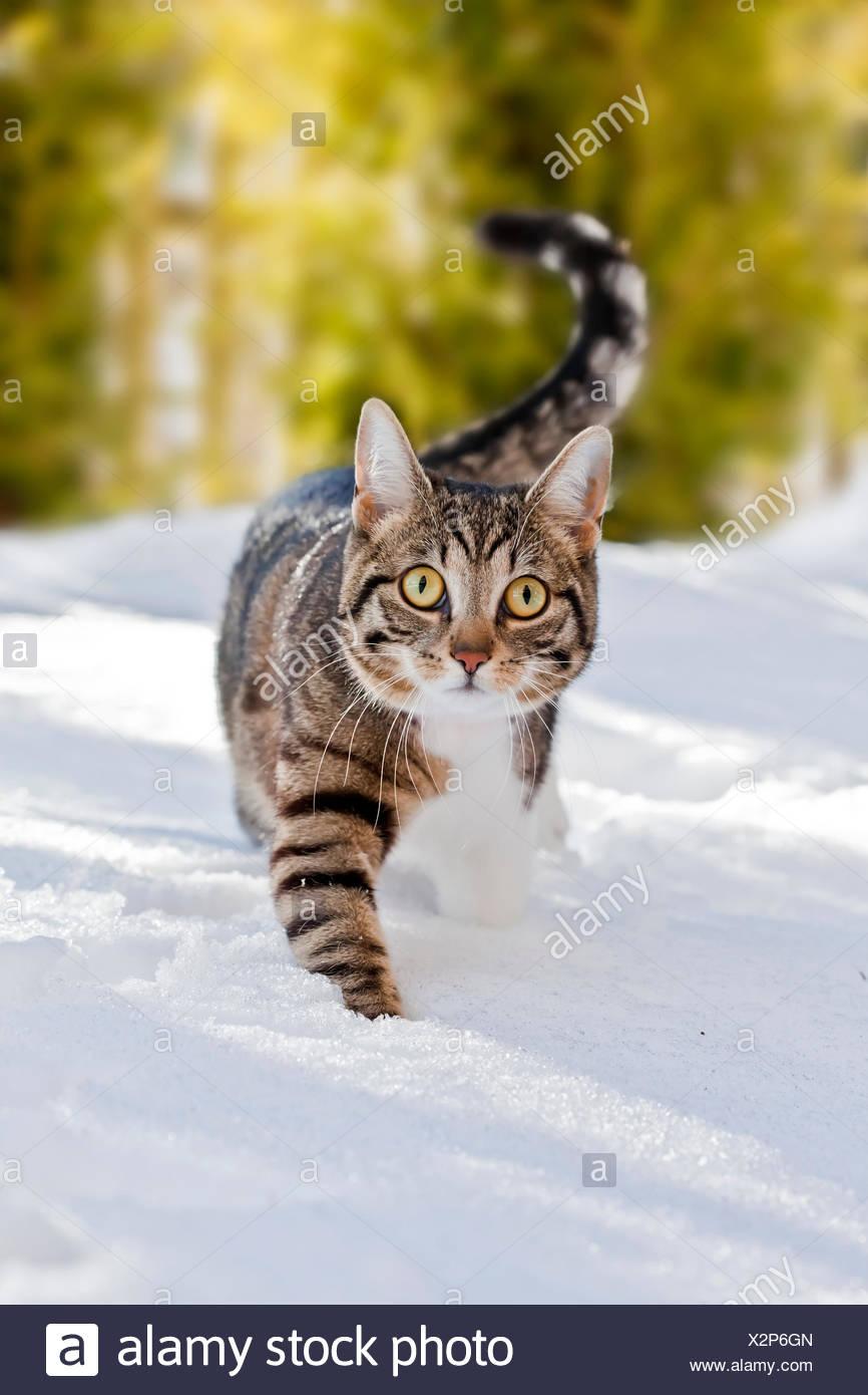 Cat marcher dans la neige fraîche, Bavière, Allemagne Photo Stock