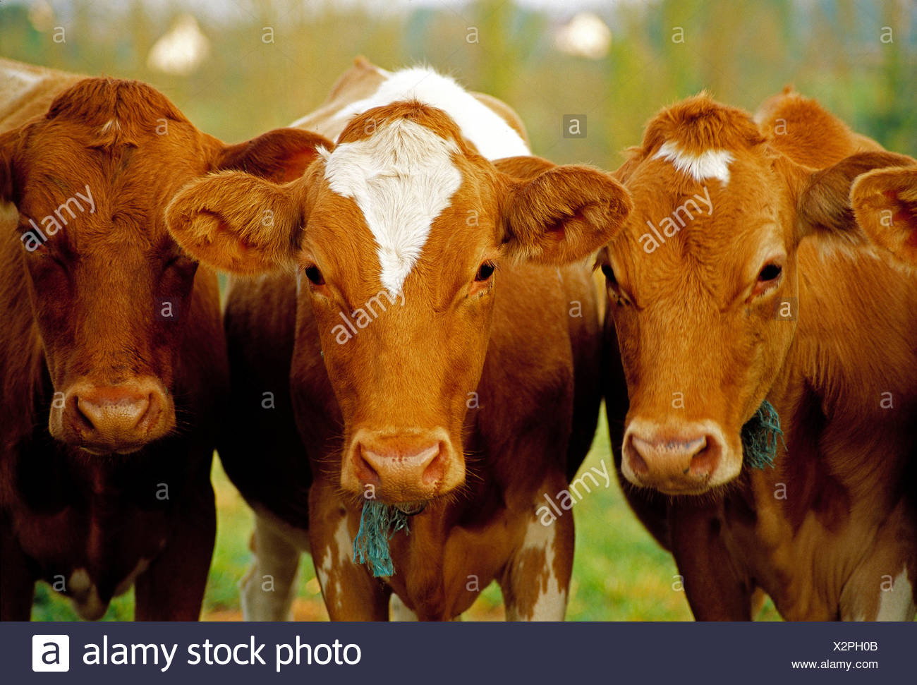 L'agriculture. les bovins. trois vaches guernesey close up. Photo Stock