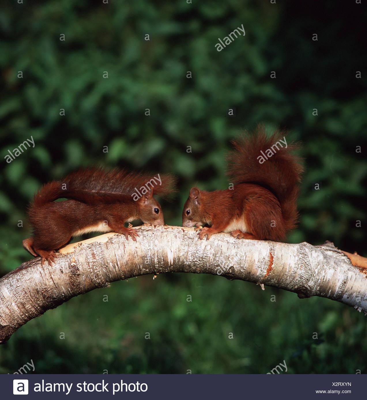 Sqirrel rouge européenne (Sciurus vulgaris). Deux jeunes de l'écorce de rongement Photo Stock