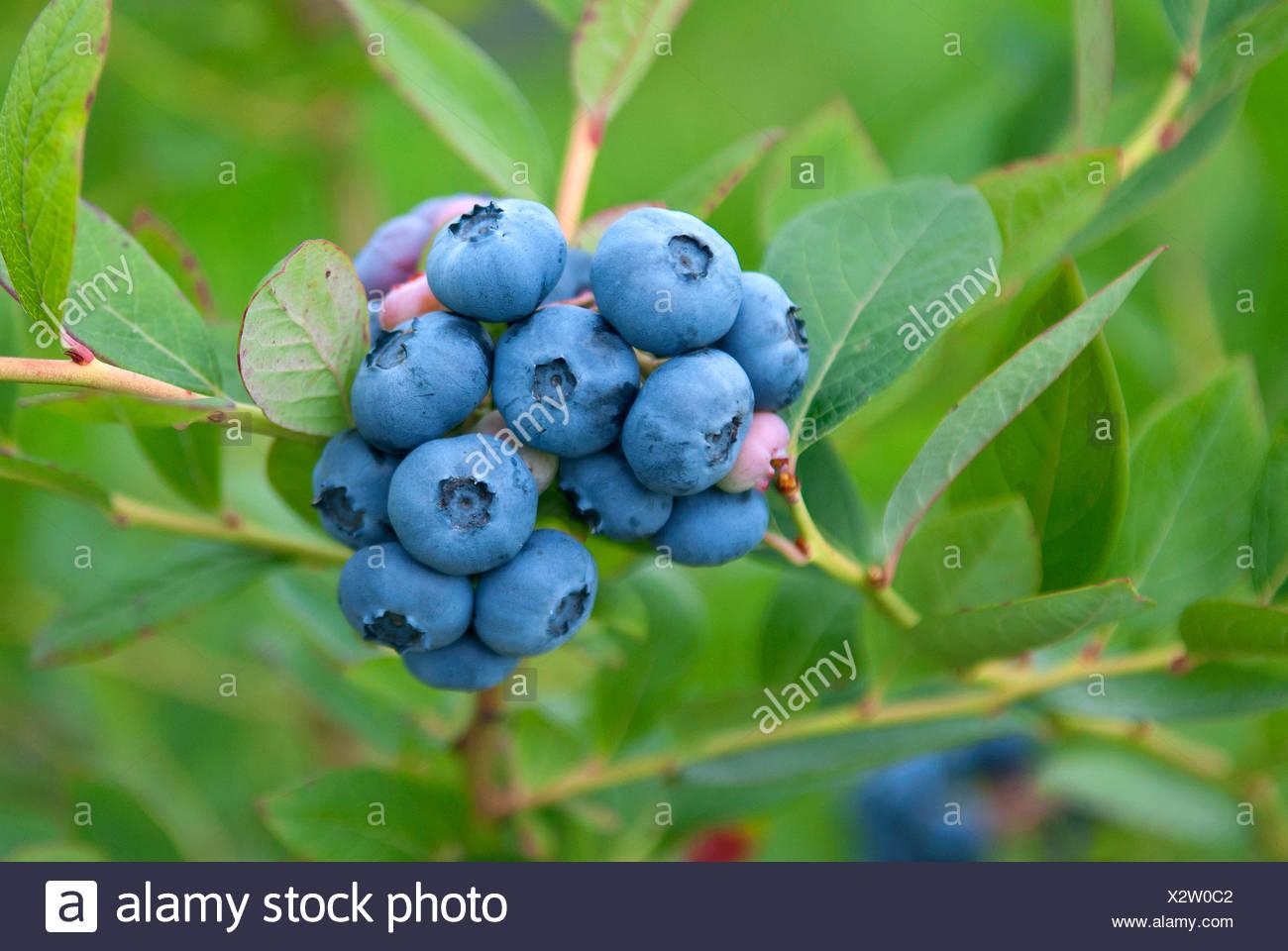 Haut de bleuet, le bleuet en corymbe, marécage (Vaccinium corymbosum 'Nelson', Vaccinium corymbosum Nelson), le cultivar Nelson Banque D'Images