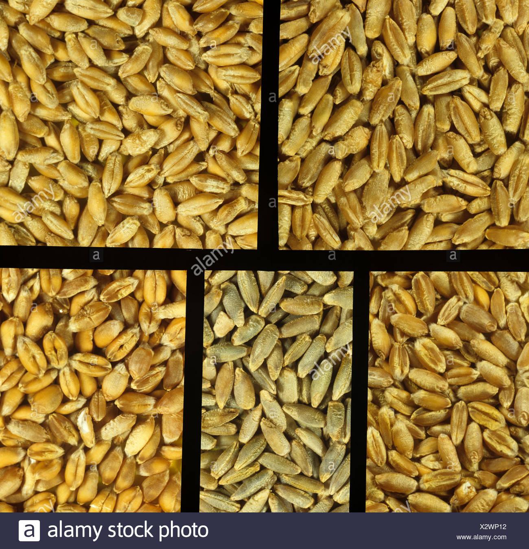 Triticale, seigle et blé céréales Photo Stock