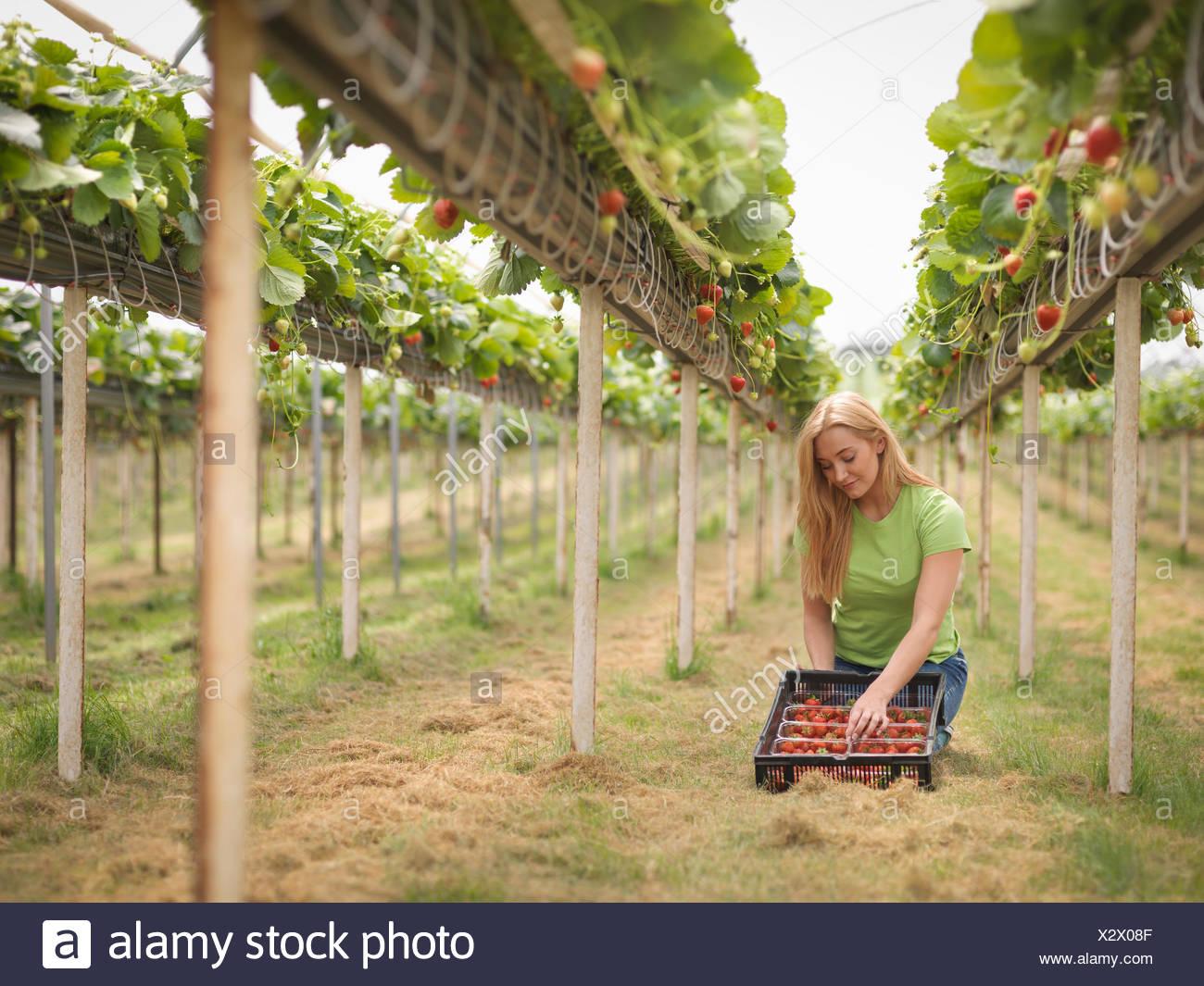 La cueillette des fraises en travailleur polytunnel sur fruit farm Photo Stock
