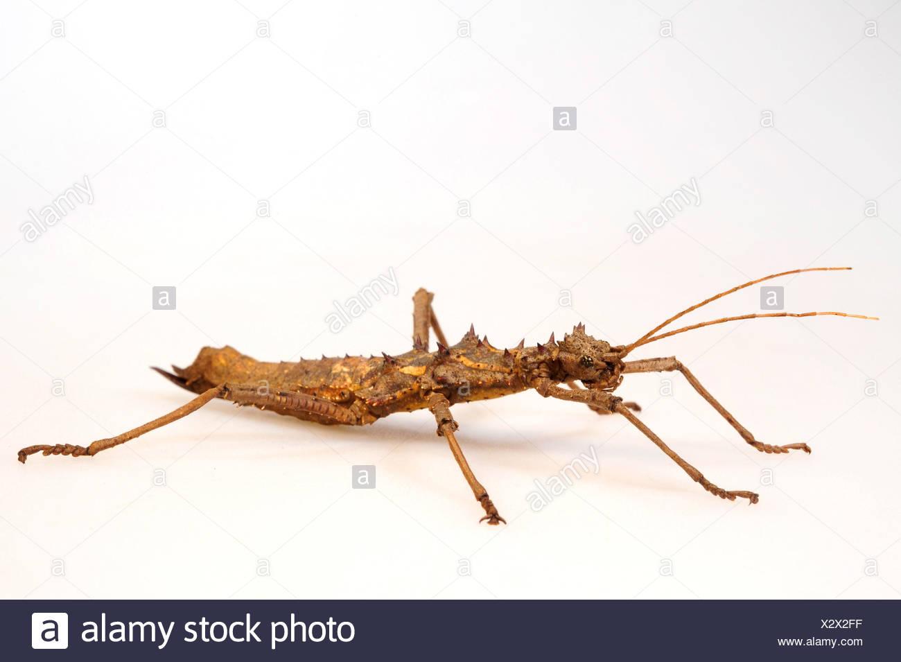 Phasme épineux (Aretaon asperrimus), femme, cut-out Photo Stock