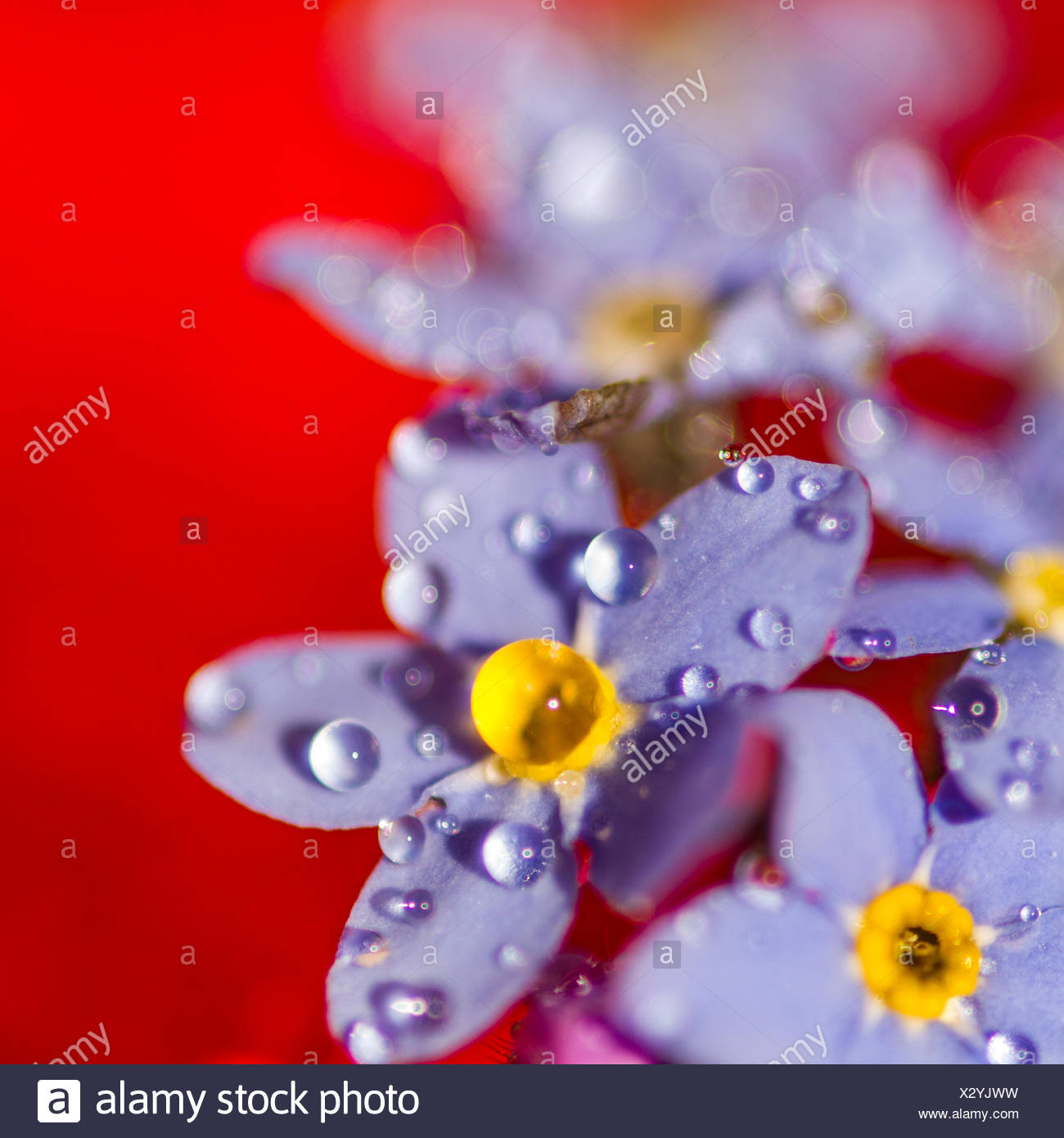 Les gouttelettes d'eau sur les fleurs violettes Photo Stock