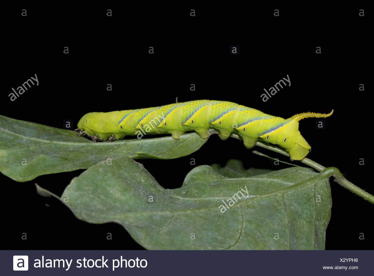 Caterpillar Sphinx Caroline Pune Photo Stock