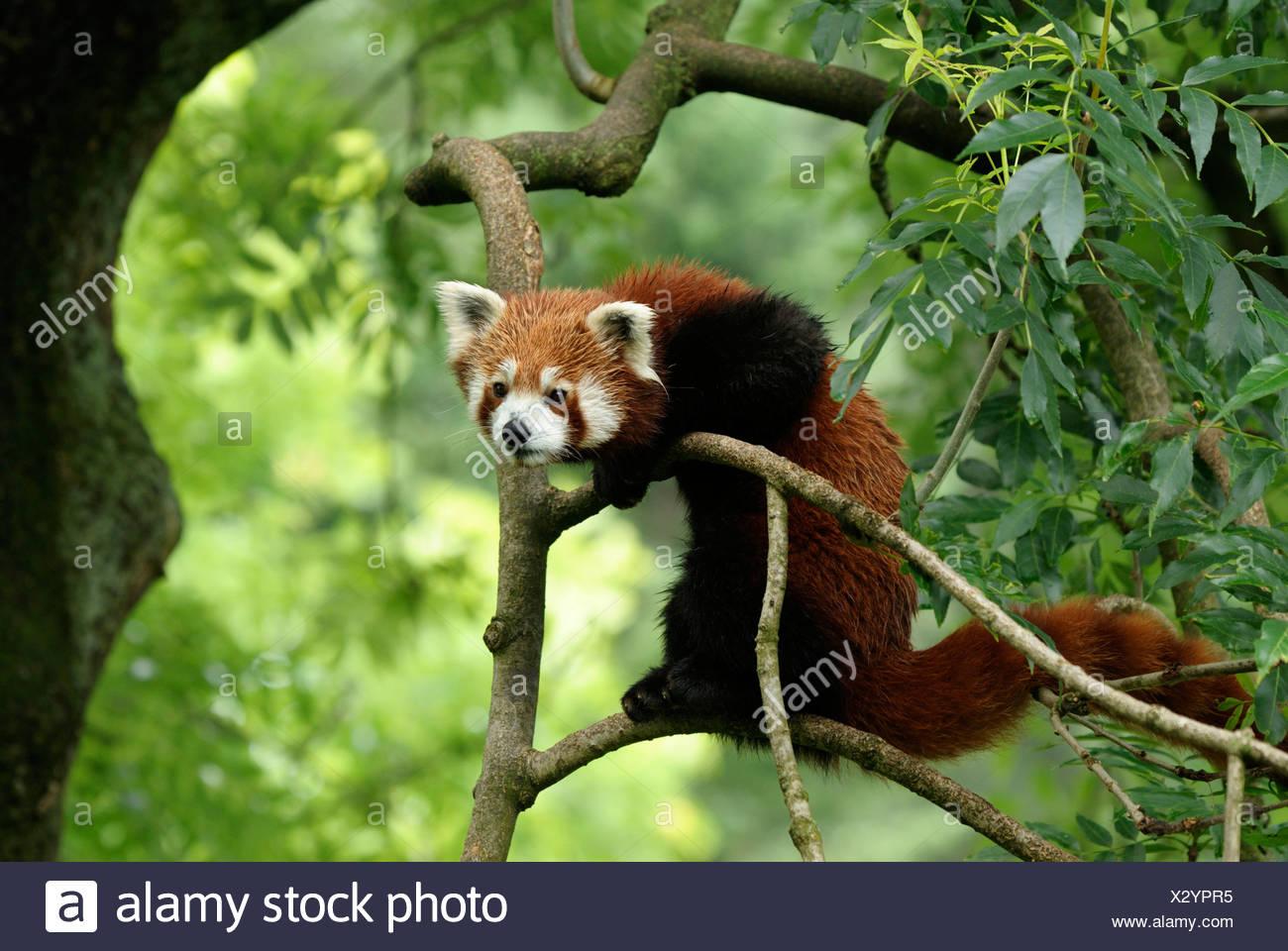 Petit panda, le panda rouge (Ailurus fulgens), l'escalade dans un arbre Photo Stock