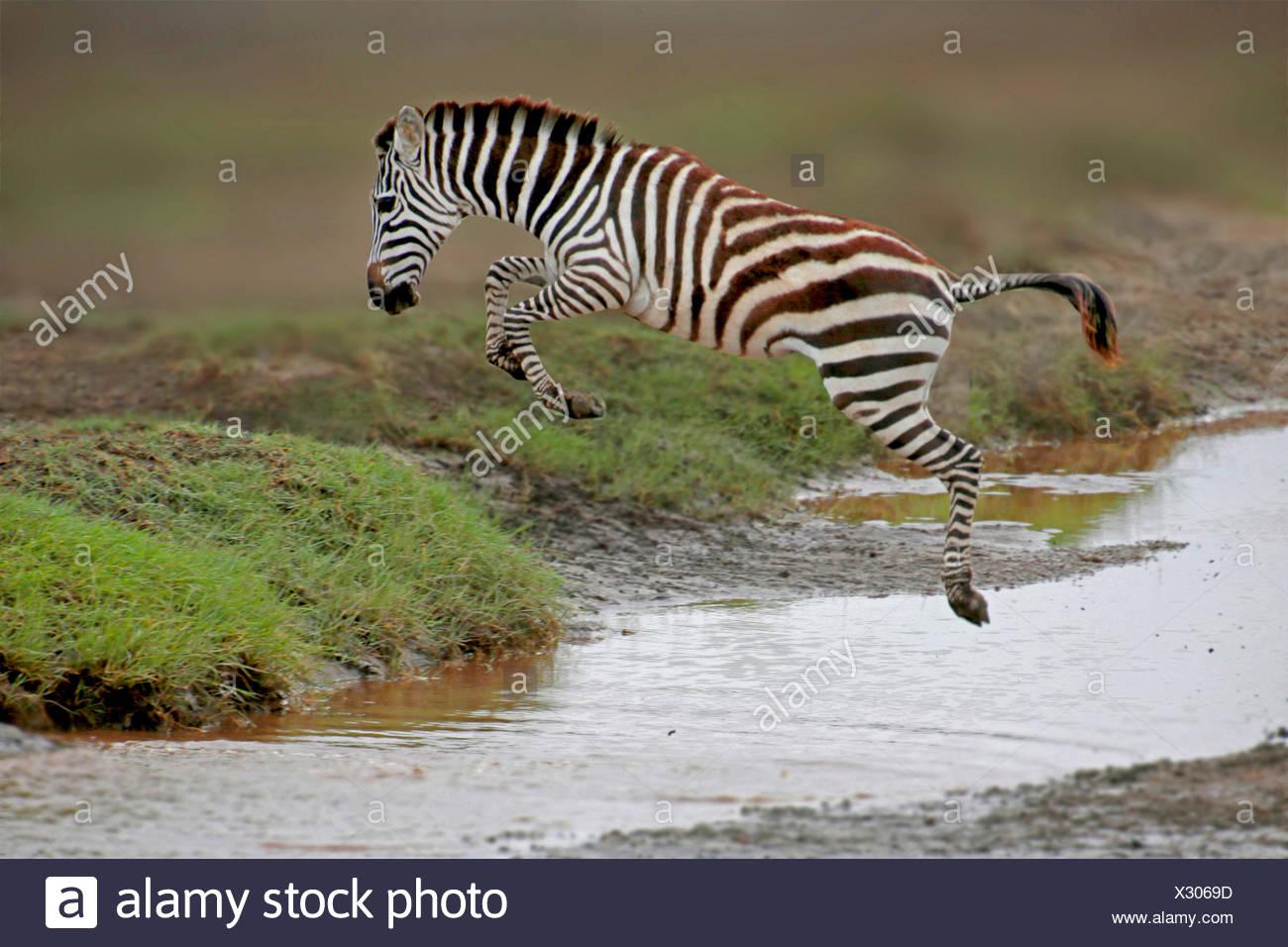 La moule commune (Equus quagga), sauter par dessus un ruisseau, la Tanzanie, le Parc National du Serengeti Photo Stock