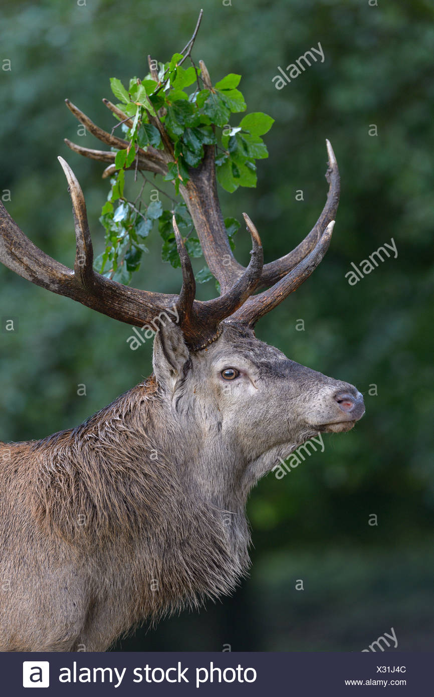 Red Deer (Cervus elaphus), portrait, avec la direction générale de capital deer feuille en andouiller, imponiergehoff, place stag, la Nouvelle-Zélande, le Danemark Photo Stock