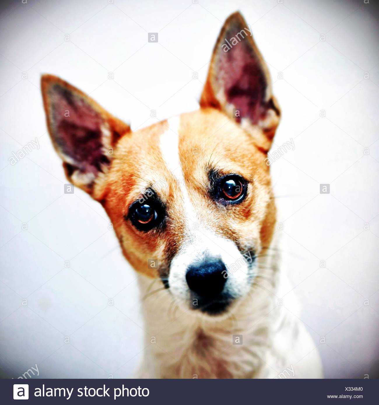 Jack Russell Terrier dog head shot Photo Stock