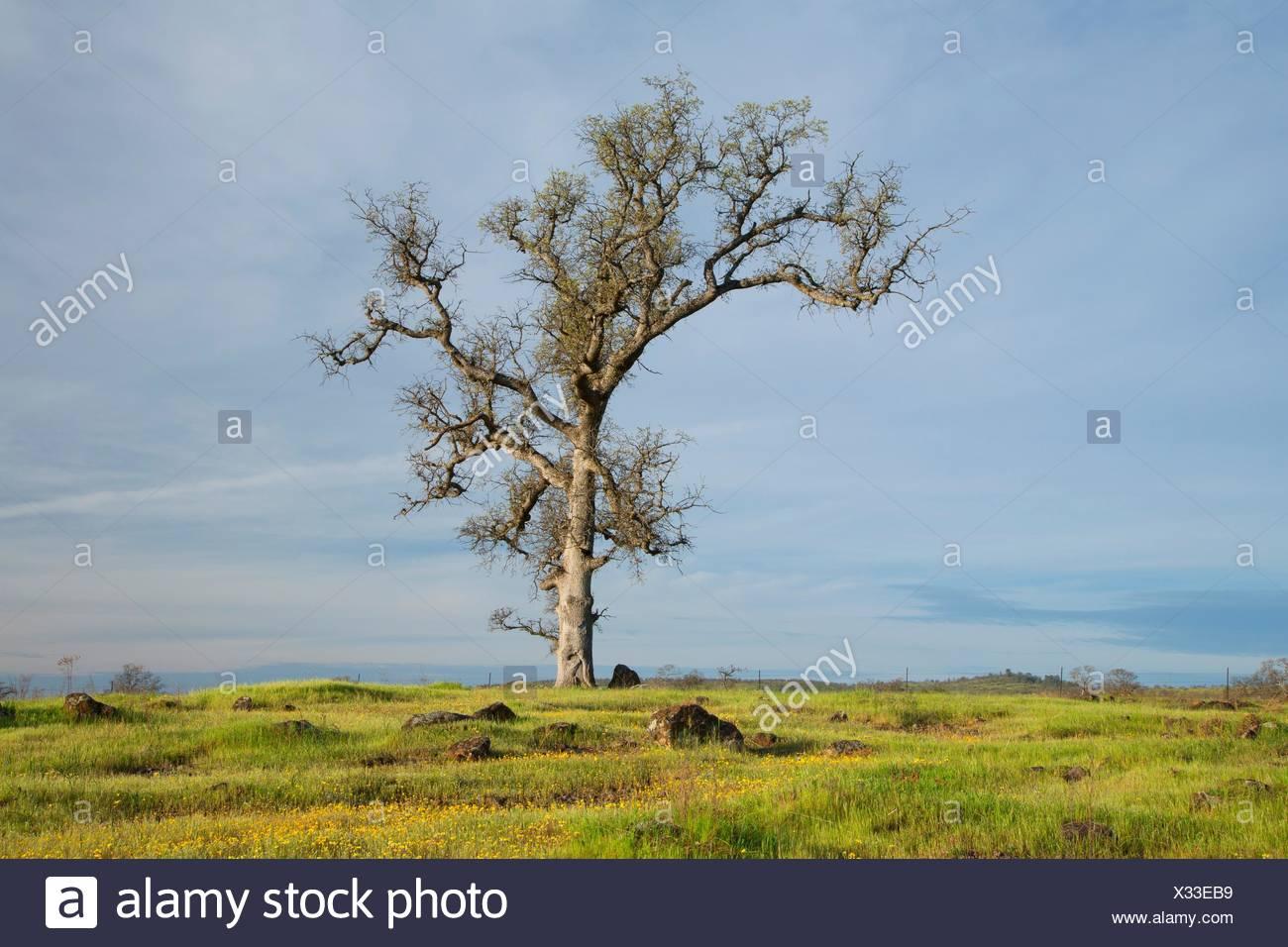 Forêt de chênes, Sacramento River Bend Domaine de préoccupation environnementale essentielle, en Californie. Photo Stock