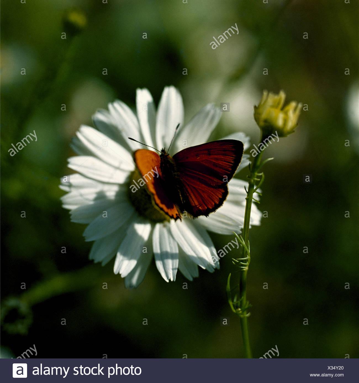 Close up d'une orange papillon sur une fleur marguerite blanc Banque D'Images