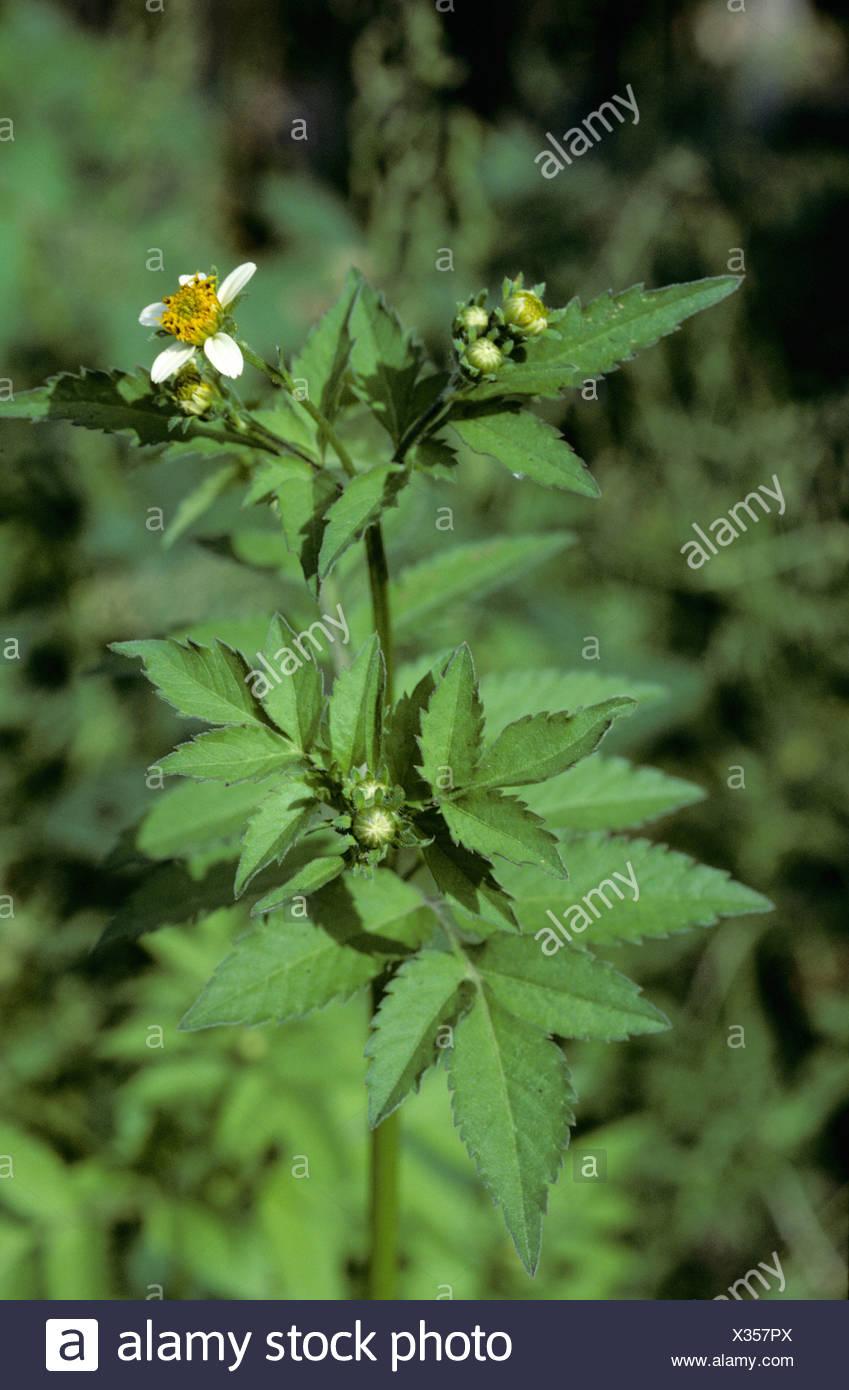 Espagnol de floraison ou aiguille black jack (Bidens pilosa), Colombie Photo Stock